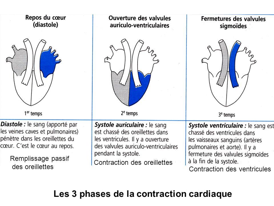Les 3 phases de la contraction cardiaque Contraction des oreillettes Contraction des ventricules Remplissage passif des oreillettes