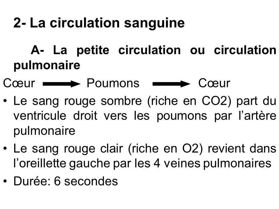 2- La circulation sanguine A- La petite circulation ou circulation pulmonaire CœurPoumonsCœur Le sang rouge sombre (riche en CO2) part du ventricule d