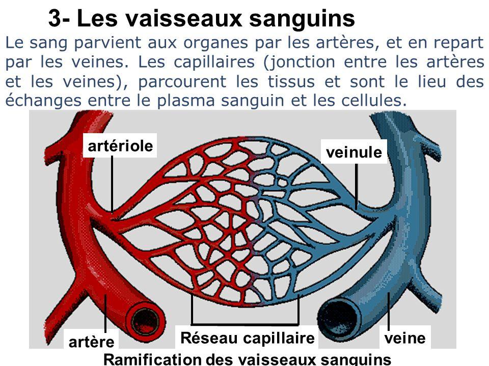 3- Les vaisseaux sanguins Ramification des vaisseaux sanguins Le sang parvient aux organes par les artères, et en repart par les veines. Les capillair