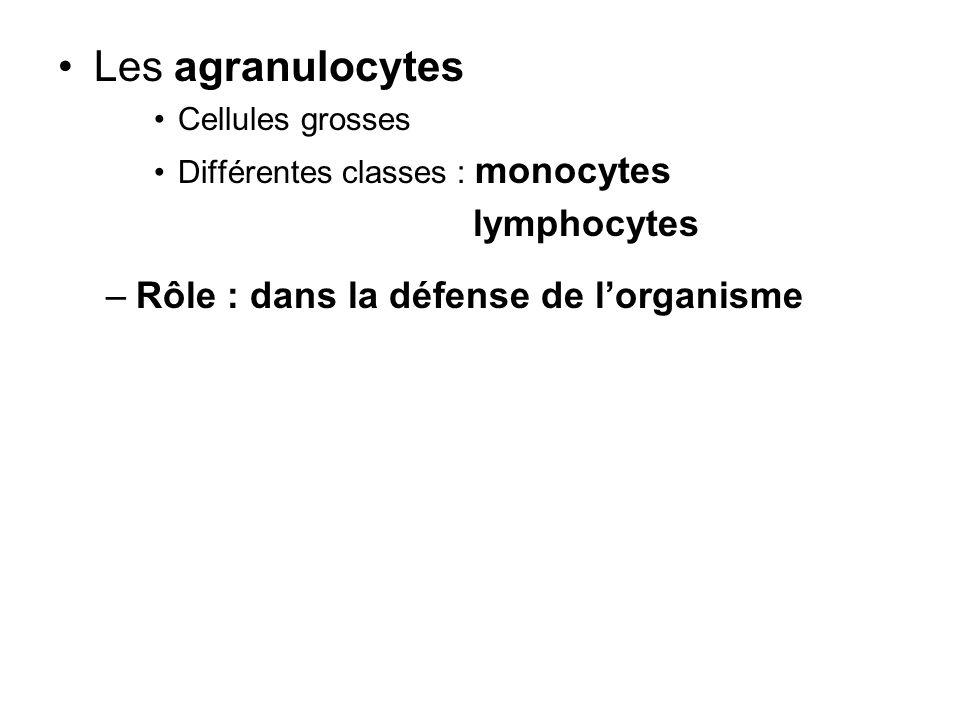 Les agranulocytes Cellules grosses Différentes classes : monocytes lymphocytes –Rôle : dans la défense de lorganisme