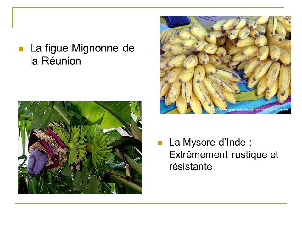 La figue Mignonne de la Réunion La Mysore dInde : Extrêmement rustique et résistante