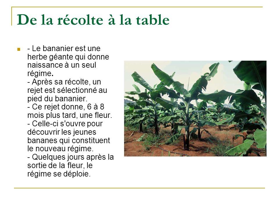 De la récolte à la table - Le bananier est une herbe géante qui donne naissance à un seul régime. - Après sa récolte, un rejet est sélectionné au pied