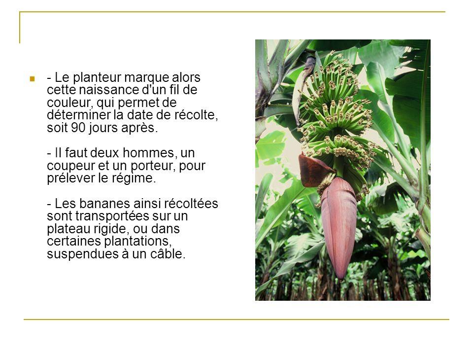 La banane Plantain (banane- légume long et anguleux, l extrémité ayant plus ou moins la forme d un goulot de bouteille, la texture restant très ferme à maturité.