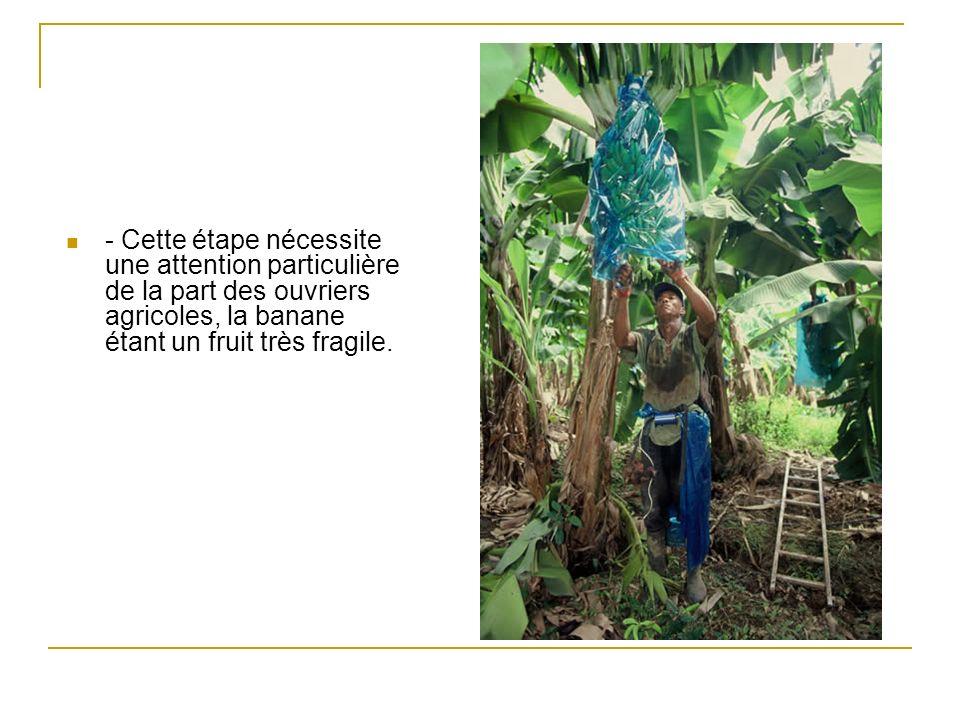 - Cette étape nécessite une attention particulière de la part des ouvriers agricoles, la banane étant un fruit très fragile.