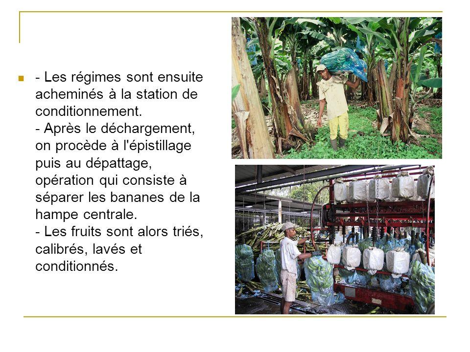 - Grâce au sticker apposé sur le bouquet, vous pouvez reconnaître immédiatement la banane de Martinique.