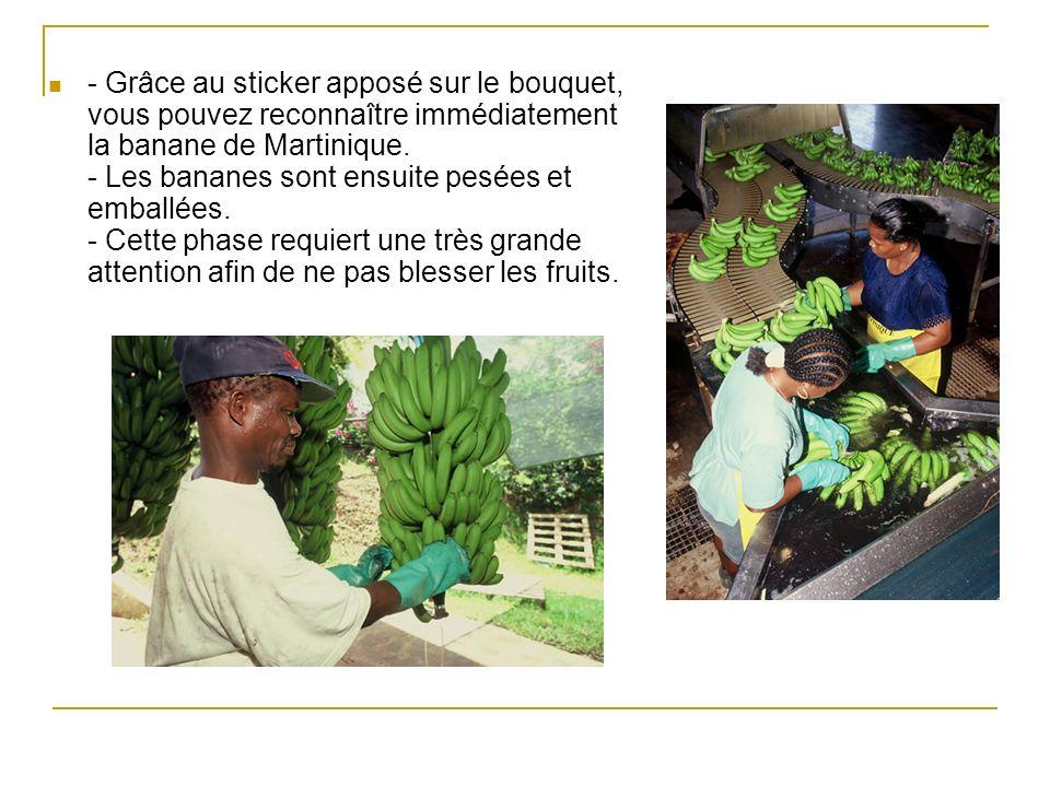- Grâce au sticker apposé sur le bouquet, vous pouvez reconnaître immédiatement la banane de Martinique. - Les bananes sont ensuite pesées et emballée