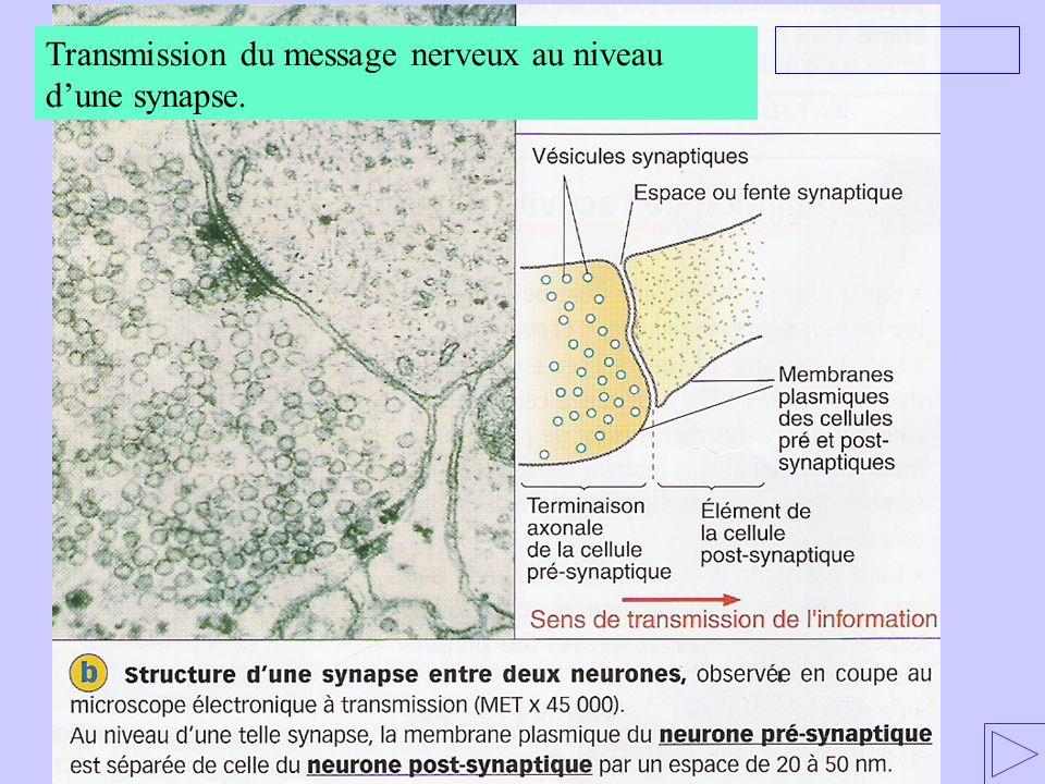 2.2 Mode daction des substances hallucinogènes 1 – La transmission du message nerveux visuel 1.1.