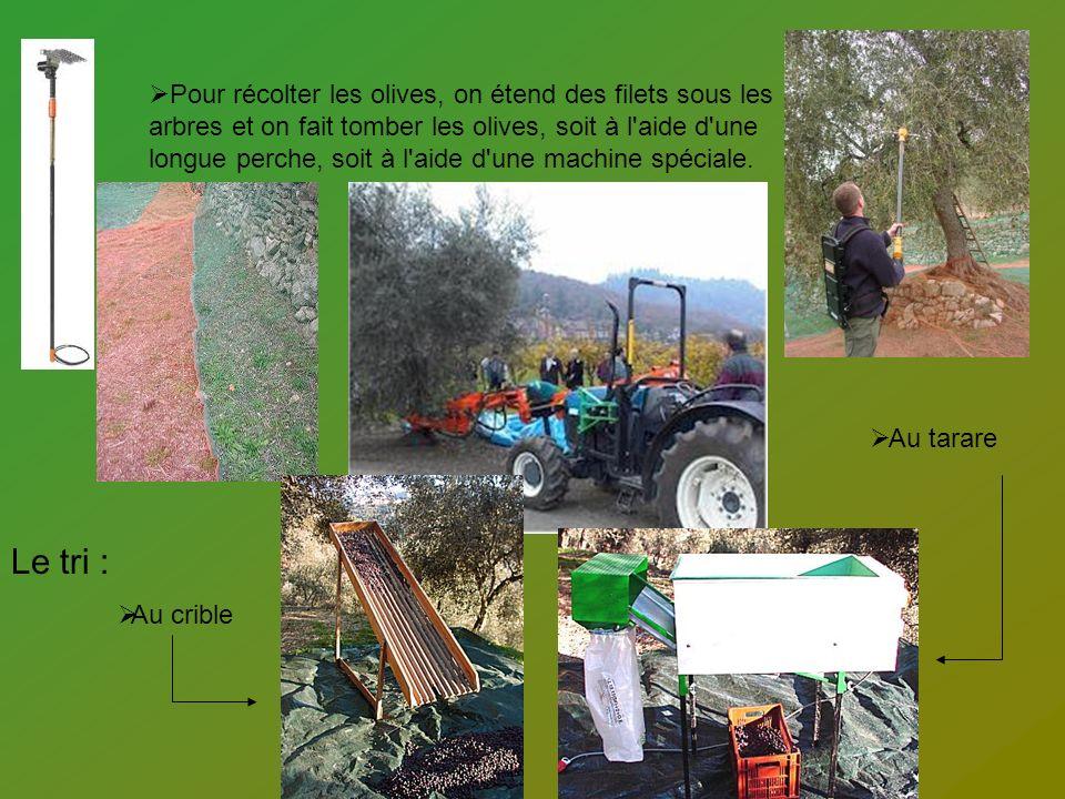 Pour récolter les olives, on étend des filets sous les arbres et on fait tomber les olives, soit à l'aide d'une longue perche, soit à l'aide d'une mac