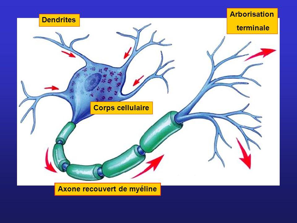 Axone recouvert de myéline Dendrites Corps cellulaire Arborisation terminale