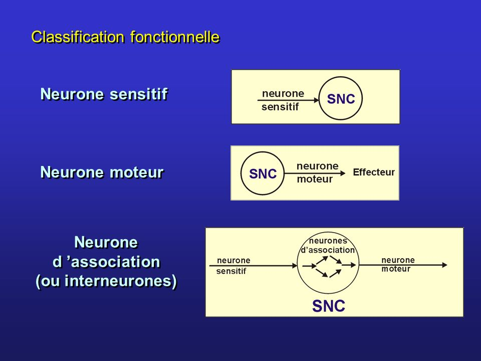 Classification fonctionnelle Neurone sensitif Neurone moteur Neurone d association (ou interneurones)