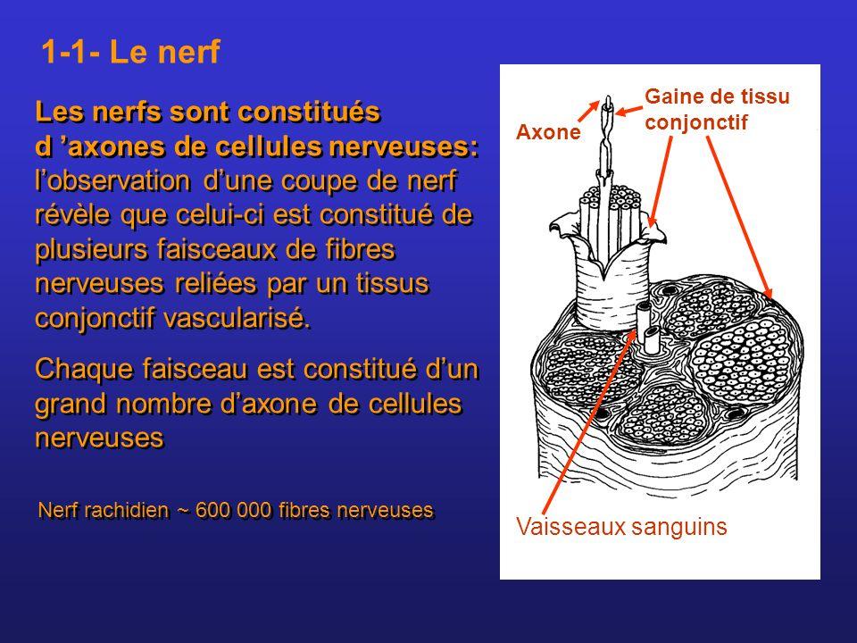 Les nerfs sont constitués d axones de cellules nerveuses: lobservation dune coupe de nerf révèle que celui-ci est constitué de plusieurs faisceaux de