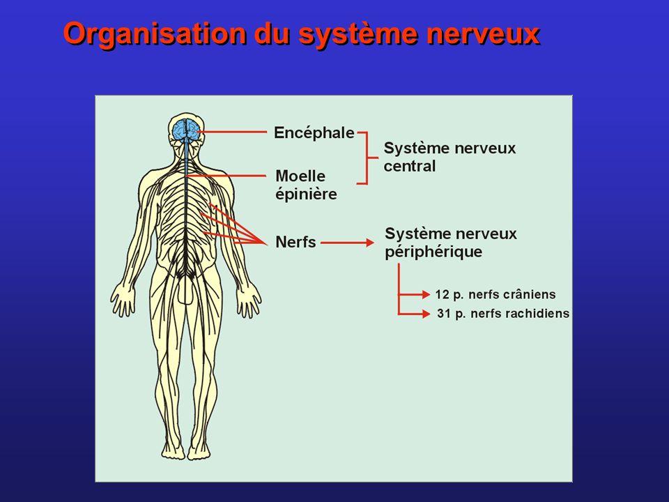 Les nerfs sont constitués d axones de cellules nerveuses: lobservation dune coupe de nerf révèle que celui-ci est constitué de plusieurs faisceaux de fibres nerveuses reliées par un tissus conjonctif vascularisé.