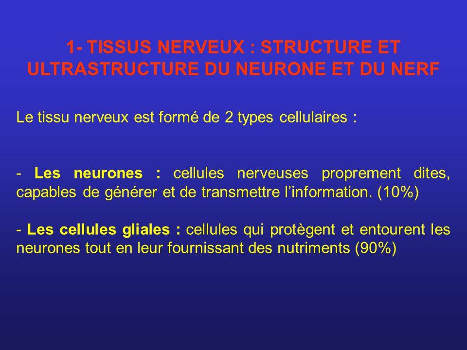 1- TISSUS NERVEUX : STRUCTURE ET ULTRASTRUCTURE DU NEURONE ET DU NERF Le tissu nerveux est formé de 2 types cellulaires : - Les neurones : cellules ne
