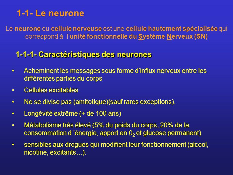 1-1-2- Structure des neurones Prolongements De prolongements fins = axone et dendrites Chaque neurone est formé : D un corps cellulaire Neurone = 3 parties : corps cellulaire+ axone + dendrites