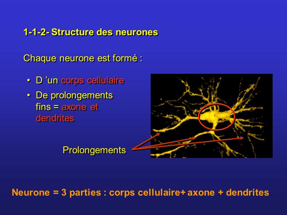 1-1-2- Structure des neurones Prolongements De prolongements fins = axone et dendrites Chaque neurone est formé : D un corps cellulaire Neurone = 3 pa