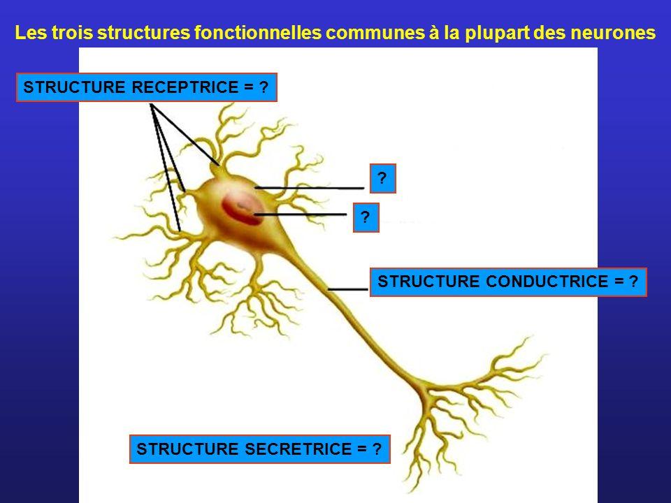 STRUCTURE RECEPTRICE = ? STRUCTURE CONDUCTRICE = ? ? ? STRUCTURE SECRETRICE = ? Les trois structures fonctionnelles communes à la plupart des neurones