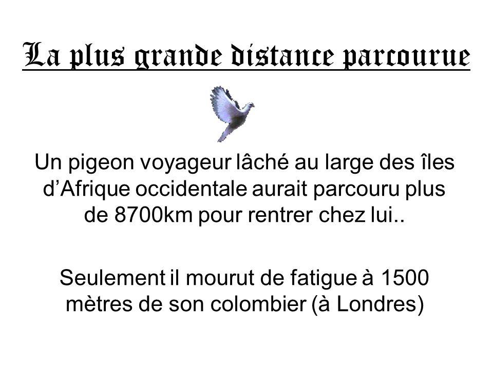 La plus grande distance parcourue Un pigeon voyageur lâché au large des îles dAfrique occidentale aurait parcouru plus de 8700km pour rentrer chez lui