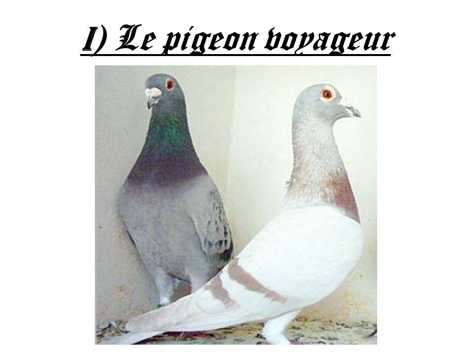 I ) Le pigeon voyageur