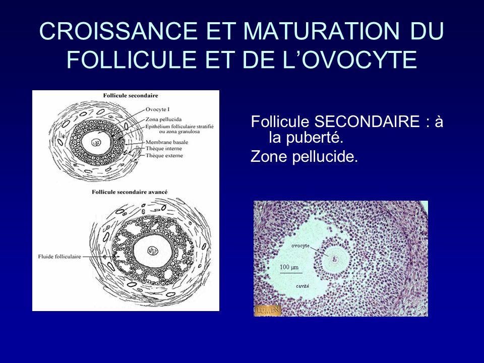 CROISSANCE ET MATURATION DU FOLLICULE ET DE LOVOCYTE Follicule SECONDAIRE : à la puberté. Zone pellucide.