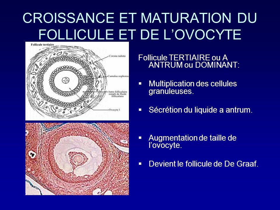 CROISSANCE ET MATURATION DU FOLLICULE ET DE LOVOCYTE Follicule TERTIAIRE ou A ANTRUM ou DOMINANT: Multiplication des cellules granuleuses. Sécrétion d