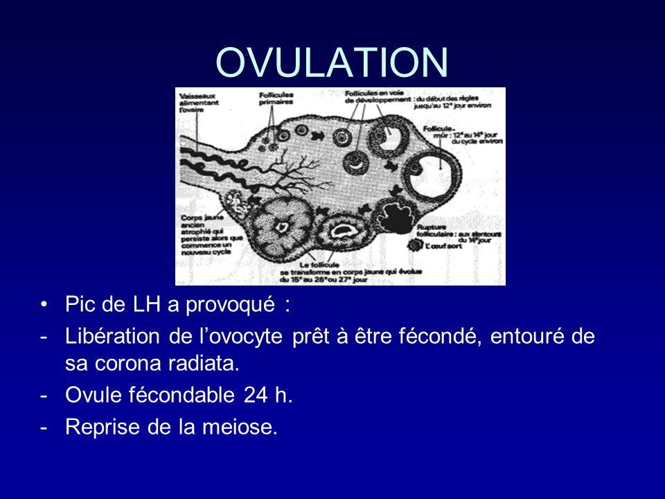 OVULATION Pic de LH a provoqué : -Libération de lovocyte prêt à être fécondé, entouré de sa corona radiata. -Ovule fécondable 24 h. -Reprise de la mei