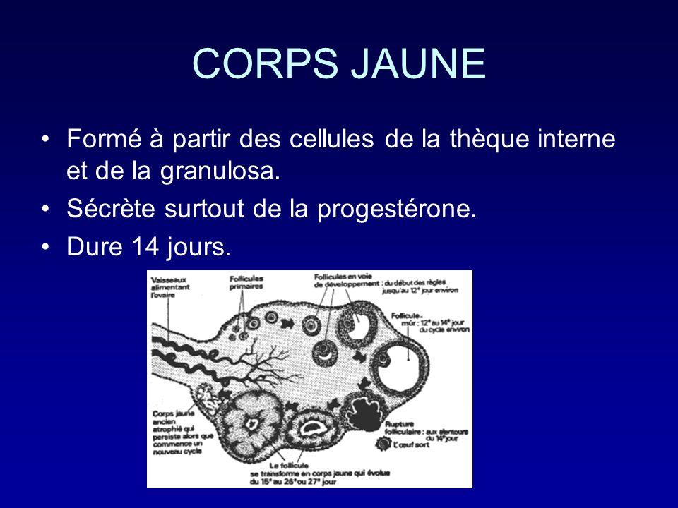 CORPS JAUNE Formé à partir des cellules de la thèque interne et de la granulosa. Sécrète surtout de la progestérone. Dure 14 jours.