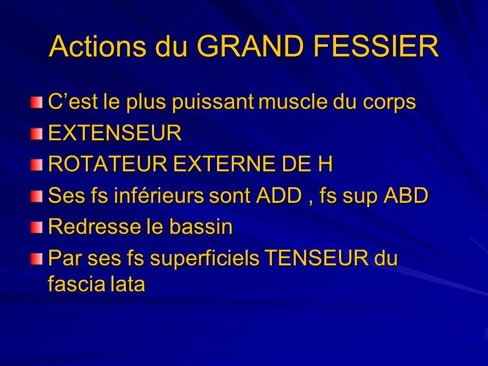 Actions du GRAND FESSIER Cest le plus puissant muscle du corps EXTENSEUR ROTATEUR EXTERNE DE H Ses fs inférieurs sont ADD, fs sup ABD Redresse le bass