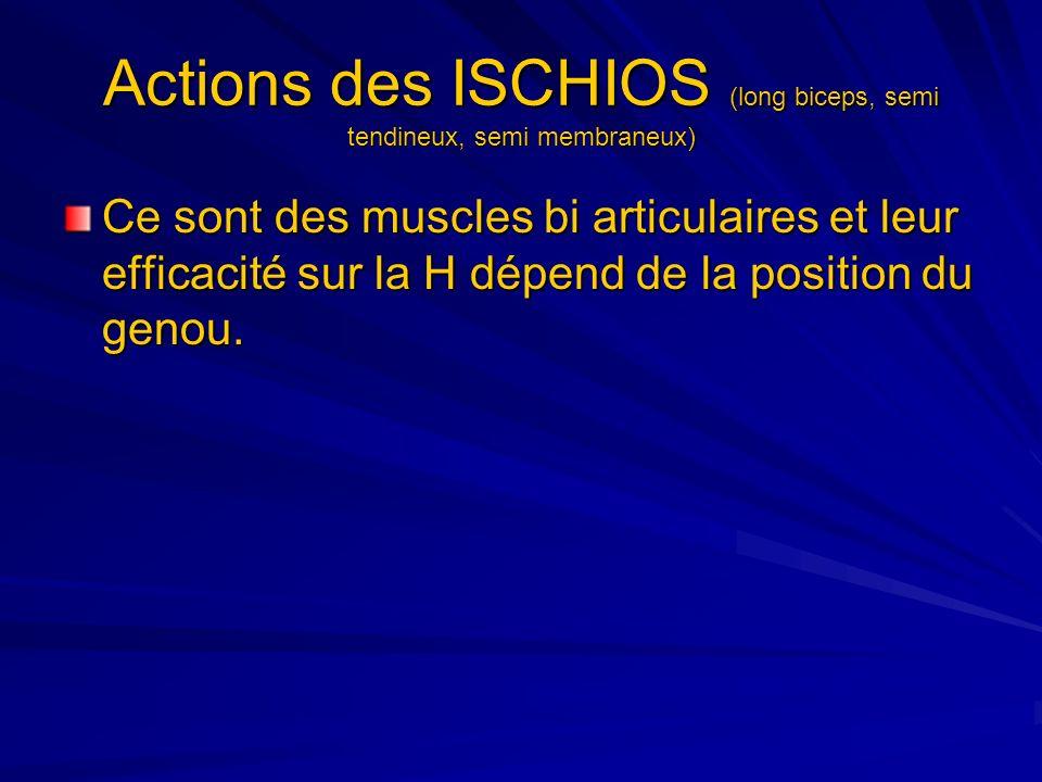 Actions des ISCHIOS (long biceps, semi tendineux, semi membraneux) Ce sont des muscles bi articulaires et leur efficacité sur la H dépend de la positi