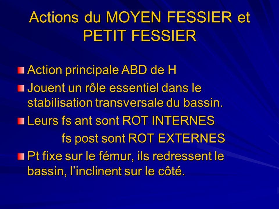 Actions du MOYEN FESSIER et PETIT FESSIER Action principale ABD de H Jouent un rôle essentiel dans le stabilisation transversale du bassin. Leurs fs a