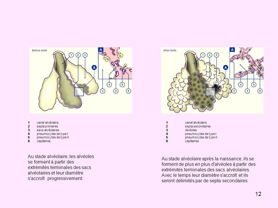 12 123456123456 canal alvéolaire septa primaires sacs alvéolaires pneumocytes de type I pneumocytes de type II capillaires 123456123456 canal alvéolai