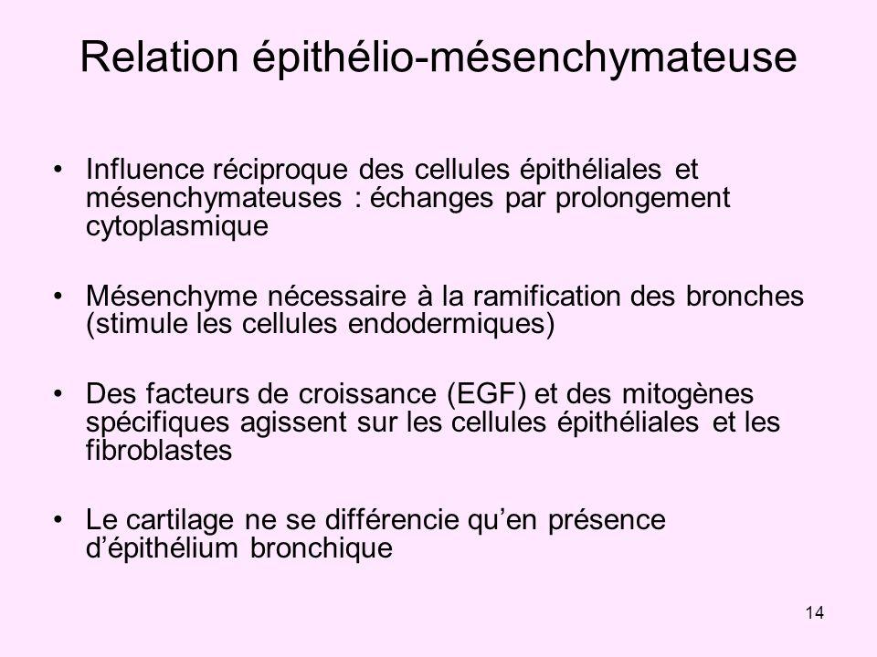 14 Relation épithélio-mésenchymateuse Influence réciproque des cellules épithéliales et mésenchymateuses : échanges par prolongement cytoplasmique Més