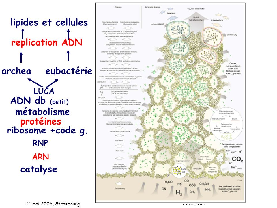 11 mai 2006, Strasbourg L1 S2, ULP LUCA catalyse ARN RNP ribosome +code g. métabolisme archeaeubactérie ADN db (petit) replication ADN lipides et cell