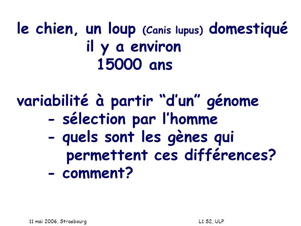 11 mai 2006, Strasbourg L1 S2, ULP le chien, un loup (Canis lupus) domestiqué il y a environ 15000 ans variabilité à partir dun génome - sélection par