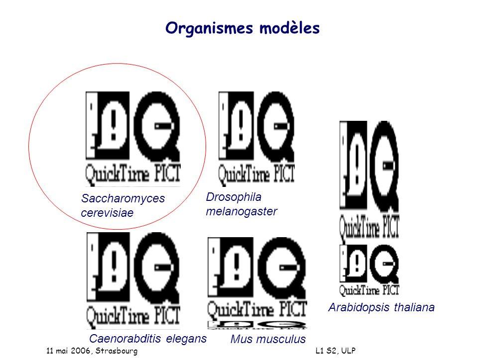 11 mai 2006, Strasbourg L1 S2, ULP Un peu dhistoire de la génétique - loi de Mendel 1864 (1903) - ADN est le matériel génétique 1944 - structure de lADN 1953 - code génétique 1961 - lADN recombinant 1973 - les introns 1977 - séquençage de lADN 1977