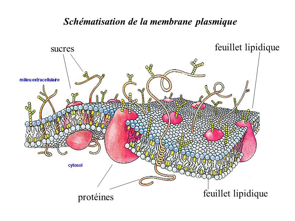 feuillet lipidique protéines sucres Schématisation de la membrane plasmique