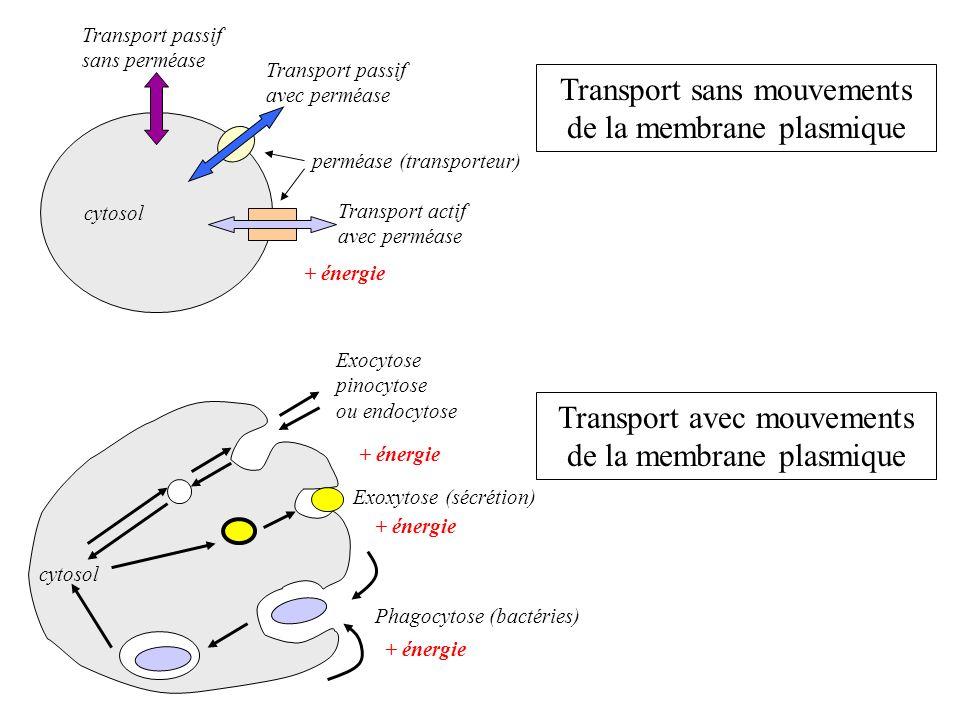 cytosol Transport passif sans perméase Transport actif avec perméase Transport passif avec perméase + énergie perméase (transporteur) Exocytose pinocy