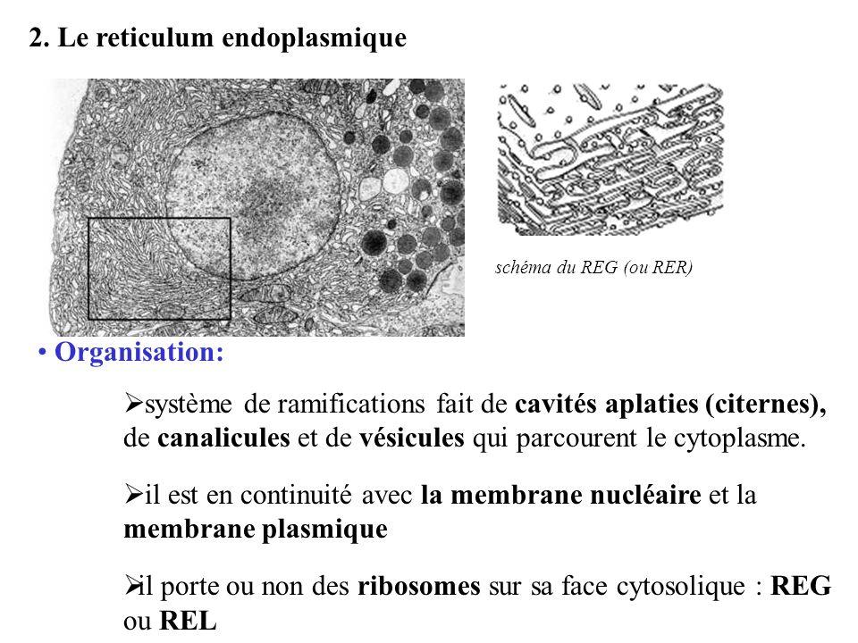 2. Le reticulum endoplasmique Organisation: système de ramifications fait de cavités aplaties (citernes), de canalicules et de vésicules qui parcouren