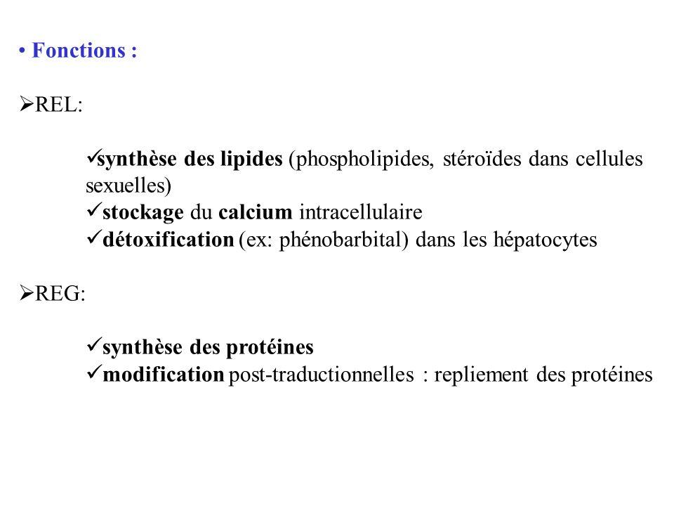 Fonctions : REL: synthèse des lipides (phospholipides, stéroïdes dans cellules sexuelles) stockage du calcium intracellulaire détoxification (ex: phén