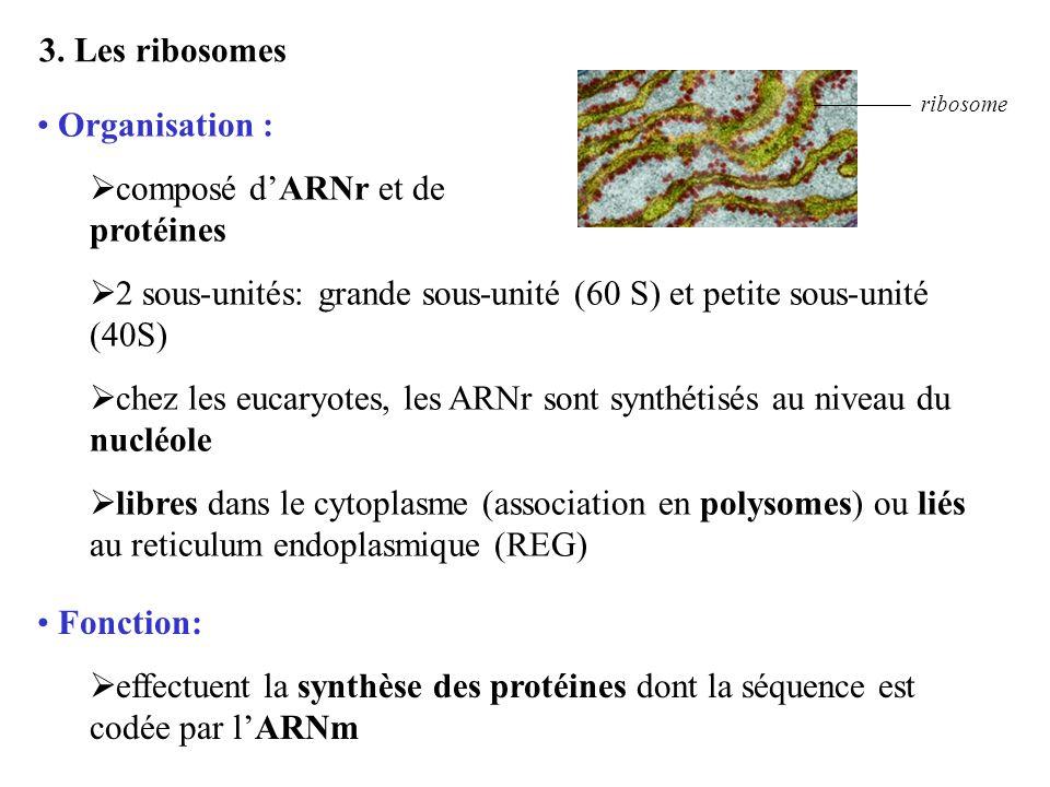 3. Les ribosomes ribosome Organisation : composé dARNr et de protéines 2 sous-unités: grande sous-unité (60 S) et petite sous-unité (40S) chez les euc