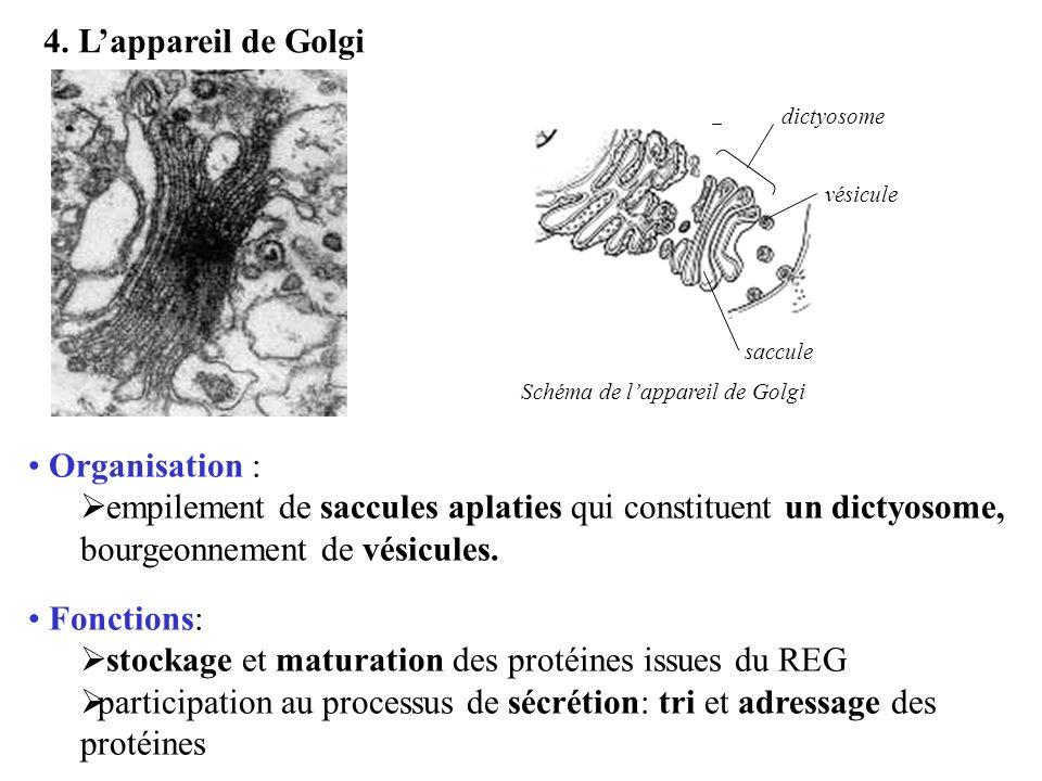 4. Lappareil de Golgi saccule dictyosome vésicule Organisation : empilement de saccules aplaties qui constituent un dictyosome, bourgeonnement de vési