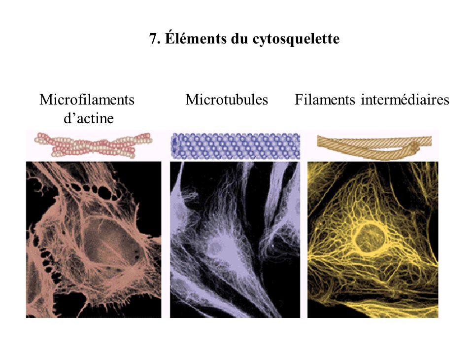 Microfilaments dactine MicrotubulesFilaments intermédiaires 7. Éléments du cytosquelette