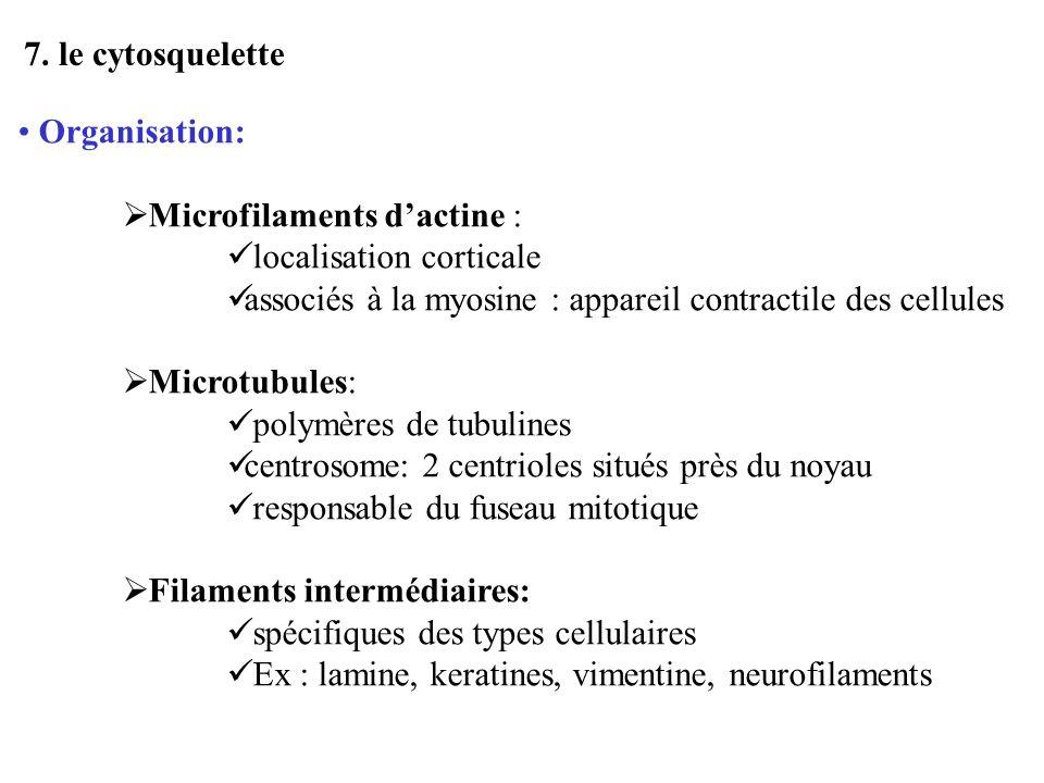7. le cytosquelette Organisation: Microfilaments dactine : localisation corticale associés à la myosine : appareil contractile des cellules Microtubul