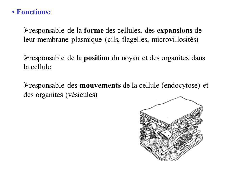 Fonctions: responsable de la forme des cellules, des expansions de leur membrane plasmique (cils, flagelles, microvillosités) responsable de la positi