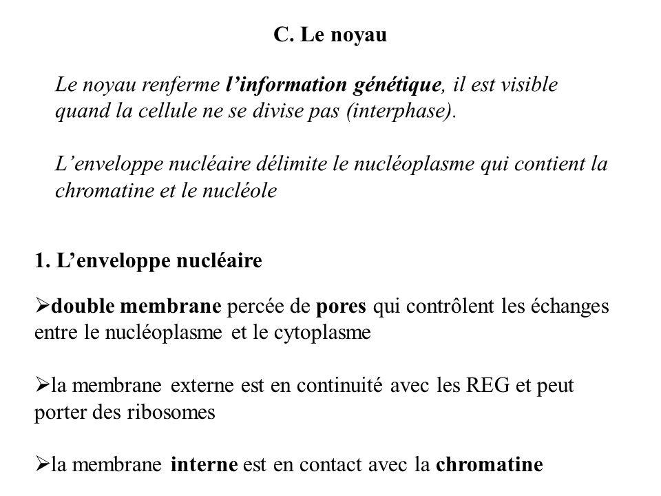 C. Le noyau 1. Lenveloppe nucléaire Le noyau renferme linformation génétique, il est visible quand la cellule ne se divise pas (interphase). Lenvelopp