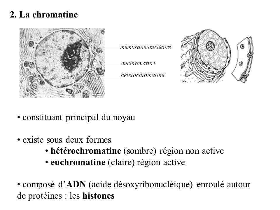 2. La chromatine constituant principal du noyau existe sous deux formes hétérochromatine (sombre) région non active euchromatine (claire) région activ