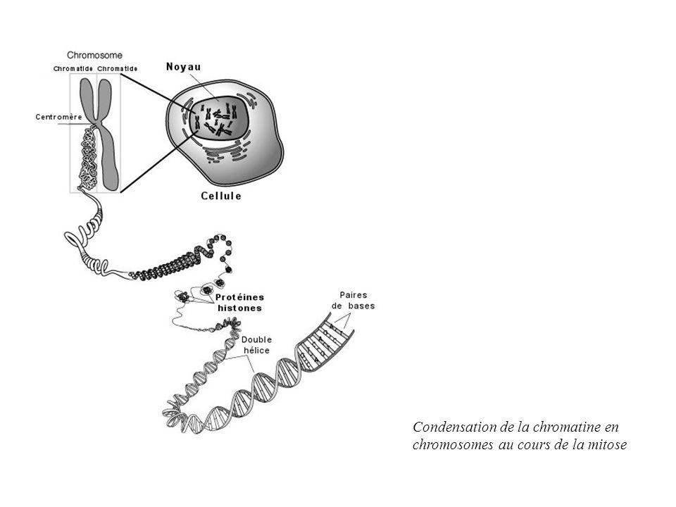 Condensation de la chromatine en chromosomes au cours de la mitose