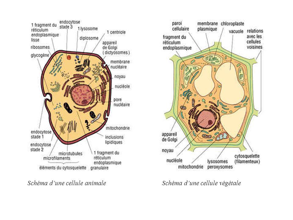 Schéma dune cellule animaleSchéma dune cellule végétale