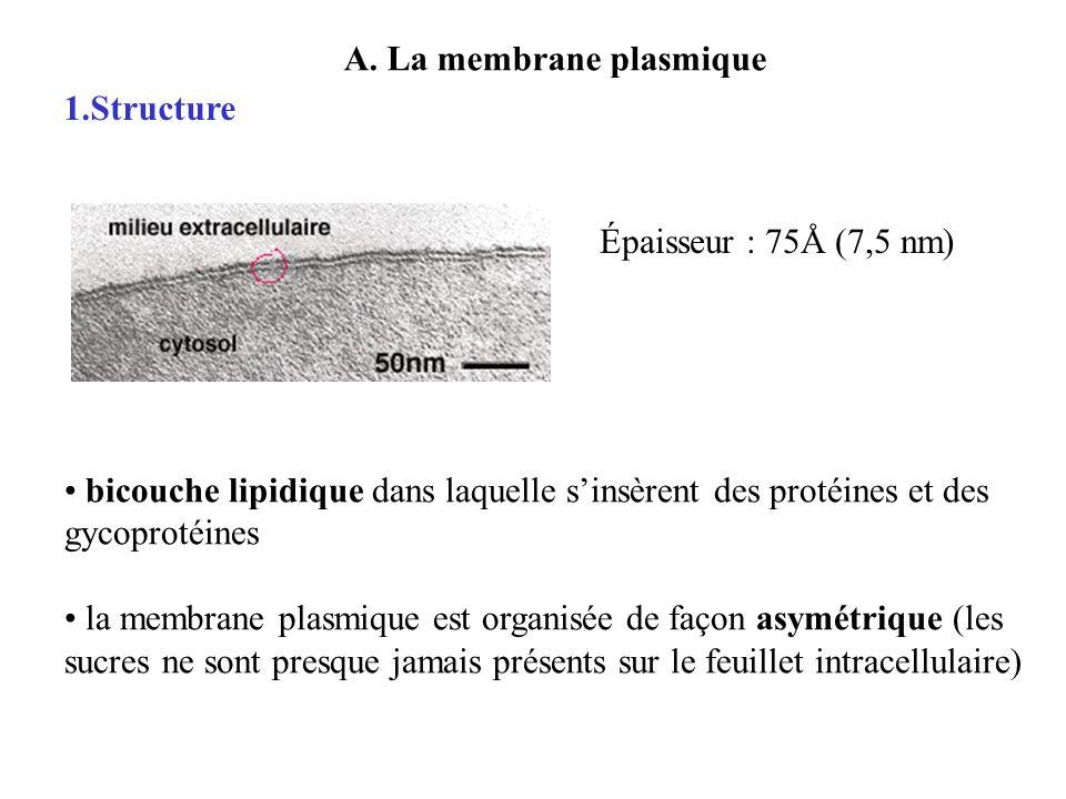 A. La membrane plasmique 1.Structure Épaisseur : 75Å (7,5 nm) bicouche lipidique dans laquelle sinsèrent des protéines et des gycoprotéines la membran