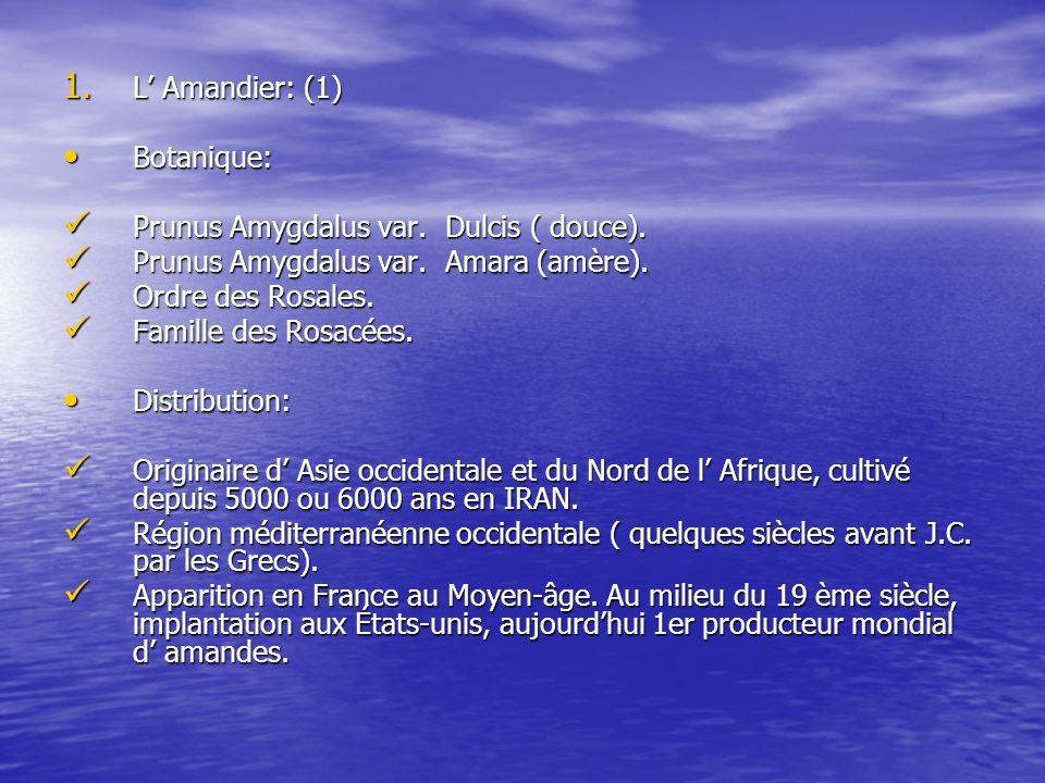 1. L Amandier: (1) Botanique: Botanique: Prunus Amygdalus var. Dulcis ( douce). Prunus Amygdalus var. Dulcis ( douce). Prunus Amygdalus var. Amara (am