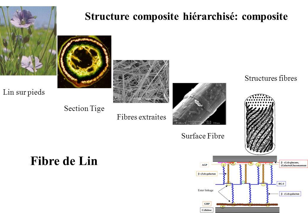 Structure composite hiérarchisé: composite Lin sur pieds Section Tige Fibres extraites Surface Fibre Structures fibres Fibre de Lin